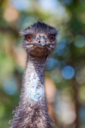 emu: Emu de miradas pájaro, primer Foto de archivo