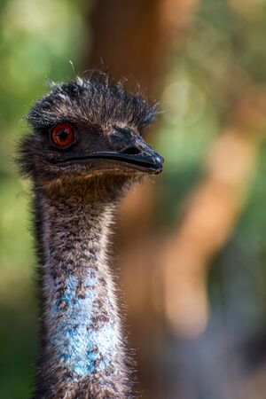 Emu bird staring, close up Stock Photo