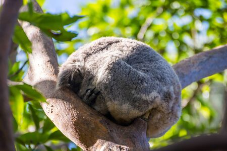 eucalyptus tree: Koala bear sleeping on a eucalyptus tree Stock Photo