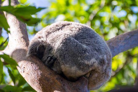 Koala bear sleeping on a eucalyptus tree Stock Photo