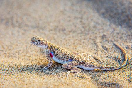 Lizard hiding in the sand in Gobi desert China