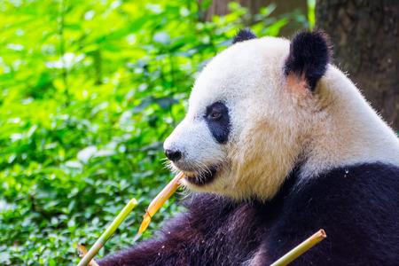 Giant panda bear (Ailuropoda melanoleuca) sitting and eating fresh bamboo