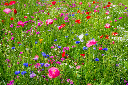kyrgyzstan: Colorful flowers with pink poppy in the green meadow