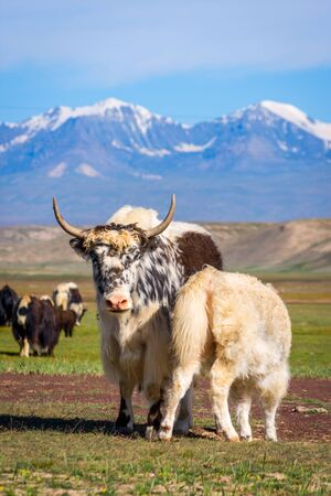 Baby yak drinking milk from its mum in the pasture