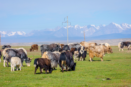 Herd of yaks in the pasture in the mountains, Kyrgyzstan