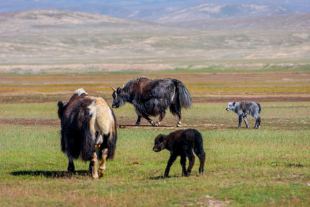 Female yak with its baby in the pasture, Kyrgyzstan Stock Photo
