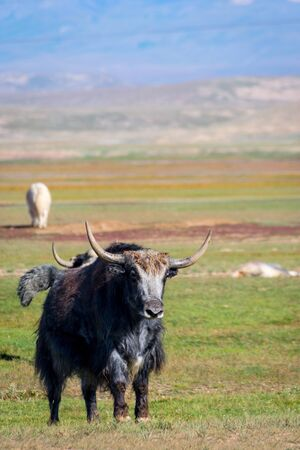 Big male black yak in the pasture in the mountains, Kyrgyzstan