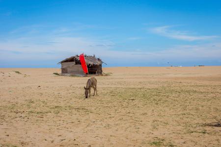 Donkey on sandy beach in front of shelter for kitesurfers, Kalpitiya, Sri Lanka Stock Photo