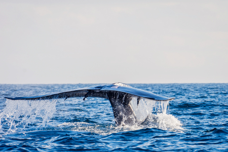 Blue whale tail in the ocean, Sri Lanka Imagens