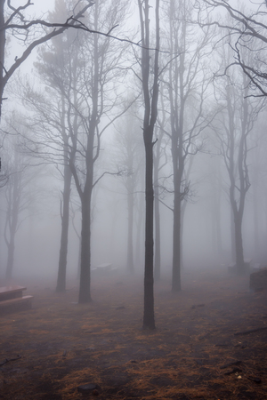 Mysterious burned down pine forest in fog, Gran Canaria Reklamní fotografie