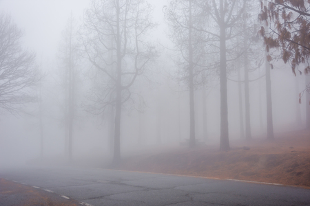 Road thru mysterious burned down pine forest in fog, Gran Canaria