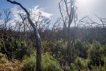 Burn down forest with young bush growing, La Gomera, Canary islands