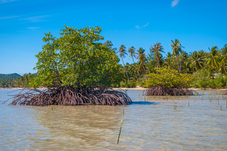 Mangrove plants growing at the coast in low tide, Koh Phangan, Thailand