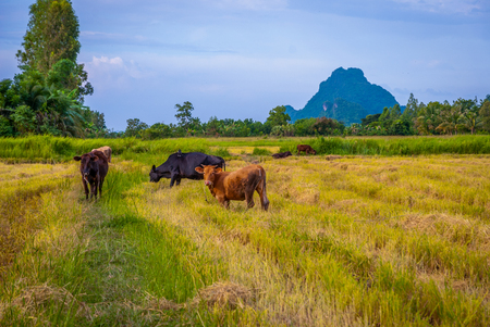 Cows in a harvested field and Phatthalung rock, Thailand