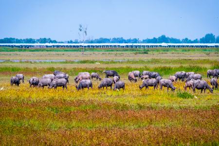 Heard of water buffalos on Songkhla lake, Thailand Banco de Imagens
