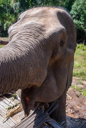 Elephant waiting for food at elephant sanctuary, Chiang Mai, Thailand