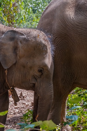 Group of asian elephants in the forest