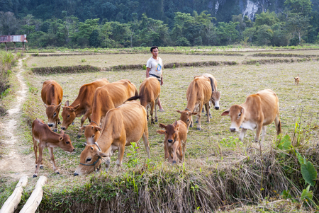 Vang Vieng, Laos - Feb 2016: Laotian man with the heard of cows on dry rice paddy
