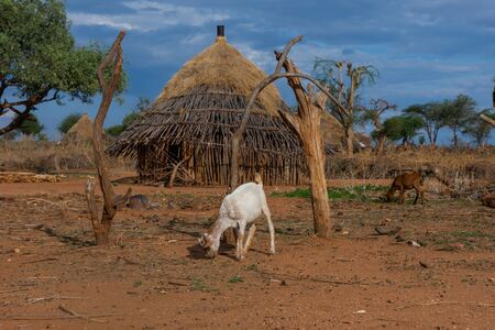 Goat in Hamer tribe village, Omo valley, Ethiopia