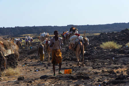 Erta Ale, Ethiopia - Nov 2018: caravan of camels guided by local Afar people, in the desert