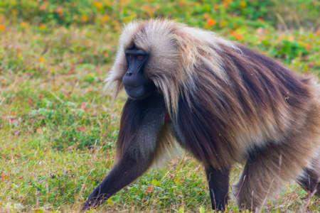 Portrait of baboon monkey eating, Simien Mountains, Ethiopia
