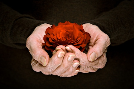 Beautiful rose flower in senior womans hands Stock Photo