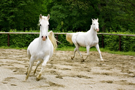 Lipizzan horses photo