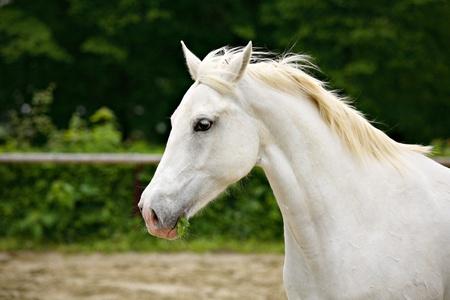 lipizzaner: Lipizzan horse Stock Photo