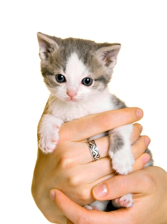 Adorable young cat in womans hands; animal rescue concept