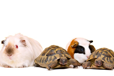 Turtles and guinea pigs, isolated on white photo