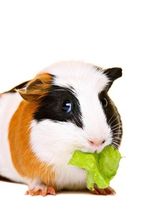 feeds: Cute guinea pig eating salad Stock Photo