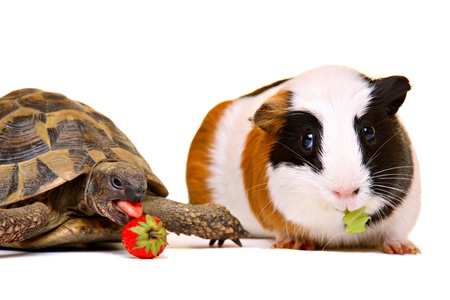 Cute turtle and guinea pig having a snack, isolated on white