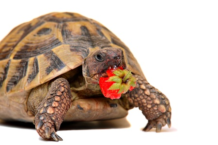 Cute turtle eating strawberry, isolated on white Stock Photo