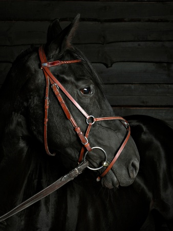 Equine Portrait photo