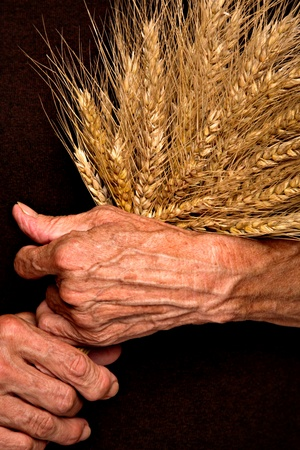 Barley ears in young womans hands, isolated on white photo