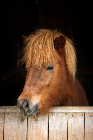 Icelandic horse against black background photo