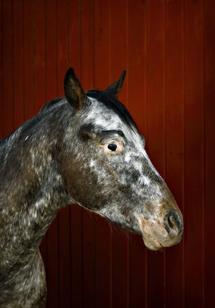 Appaloosa horse against red wall  photo