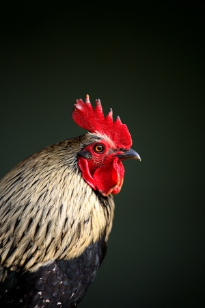 cockrel: Beautiful rooster Stock Photo