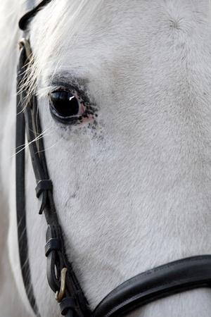yegua: Caballo de ojos