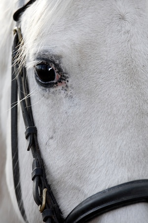 lipizzan horse: Horse Eye Stock Photo