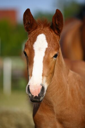 filly: Young adorable quarter horse filly Stock Photo
