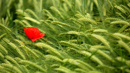 Poppy in a green wheat field photo