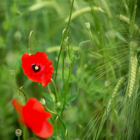 Poppies in a green wheat field photo