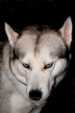 blue eye husky: Husky closeup portrait with blue eyes,isolated on black, looks like wolf