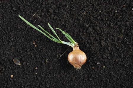 fertile land: Onion sprouting in a fertile land fund Stock Photo