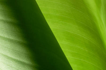 banana leaves: banana leaves Stock Photo