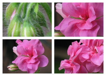 Geranium collage 1