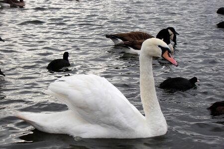 Clowdy swan 1 photo