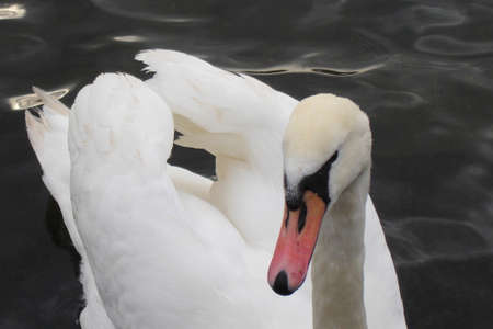 Clowdy swan 4 photo