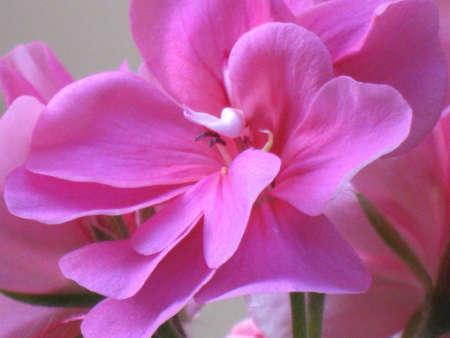 Geranium petals 5